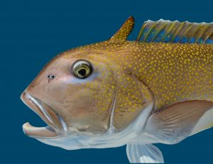 golden gulf of mexico tilefish